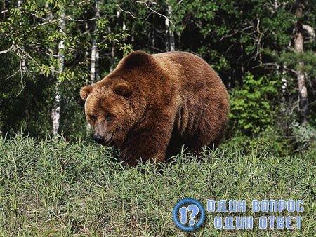 Применение медвежьего жира
