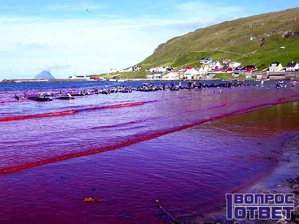 Зачем в Дании убивают дельфинов?