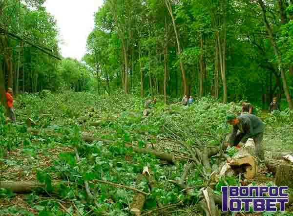 Отубленные пеньки деревьев без разрешения
