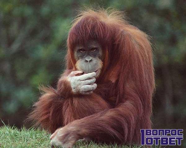 СПИД появился от обезьян