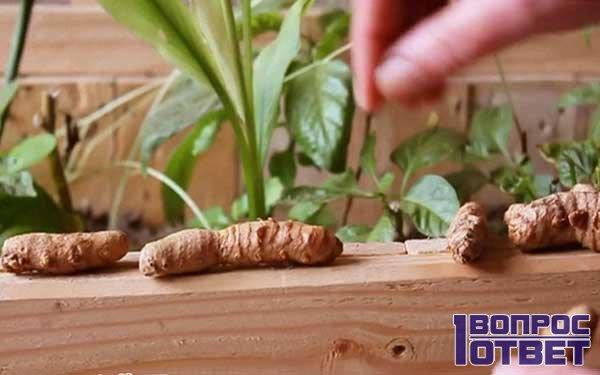 Как можно вырастить имбирь из корня в домашних условиях?