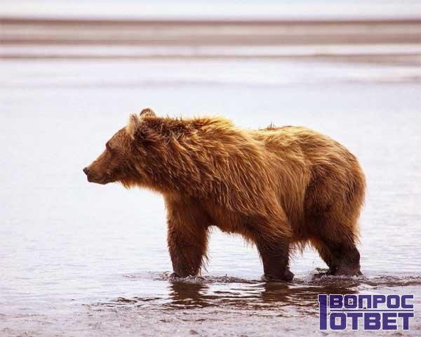 Медведь бех зира - начало весны