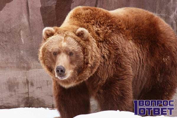 Медведь - и его жировая прослойка