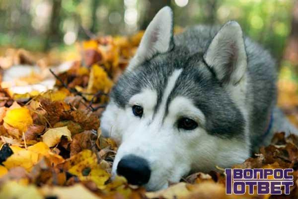 Употребление пиши собак породы хаски дома