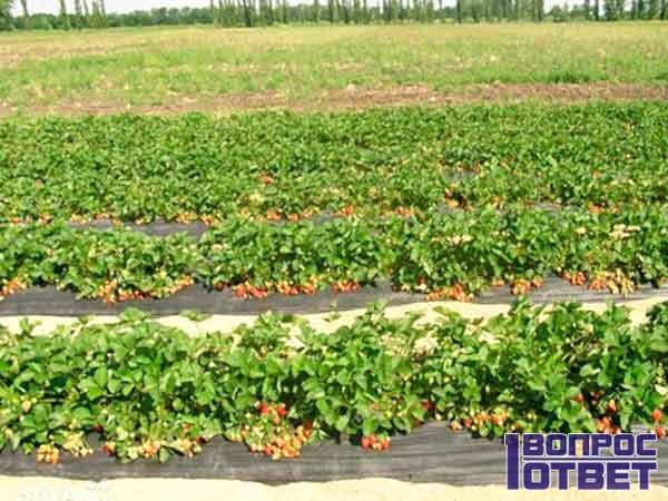 Урожай клубники в поле