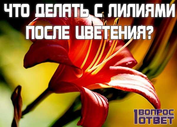 Что делать после того, как лилии отцвели?