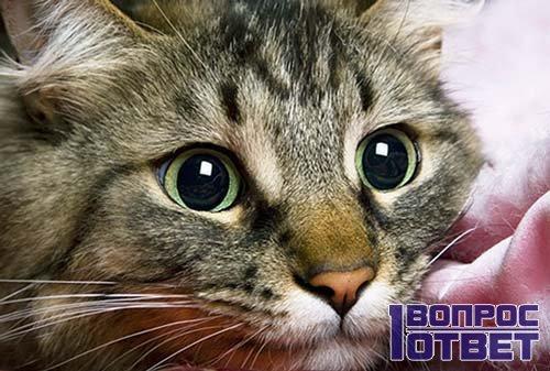 Круглые глаза кошки