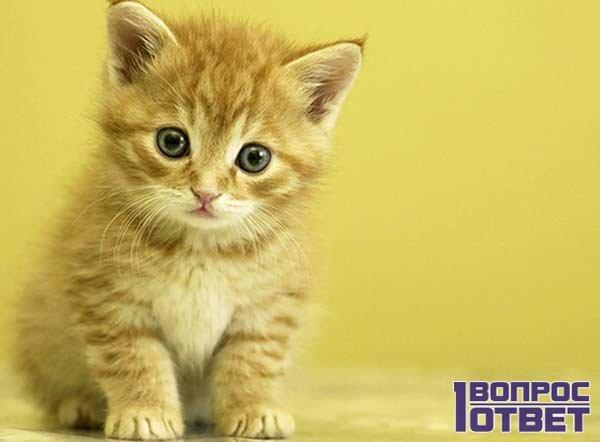 Покормленный котенок двух месяцев