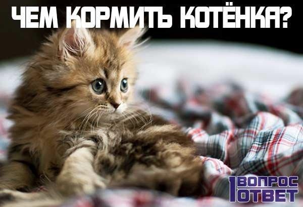 Чем лучше кормить котенка?