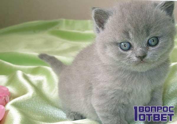 Питание британского вислоухого котенка