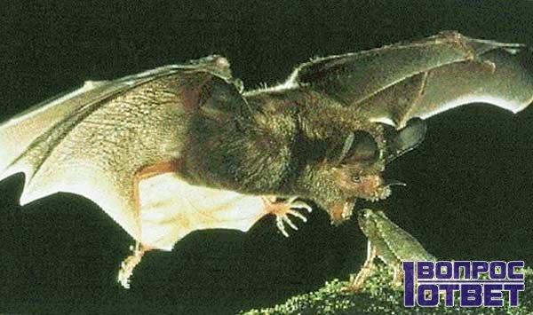 Мышь на лету ест лягушку