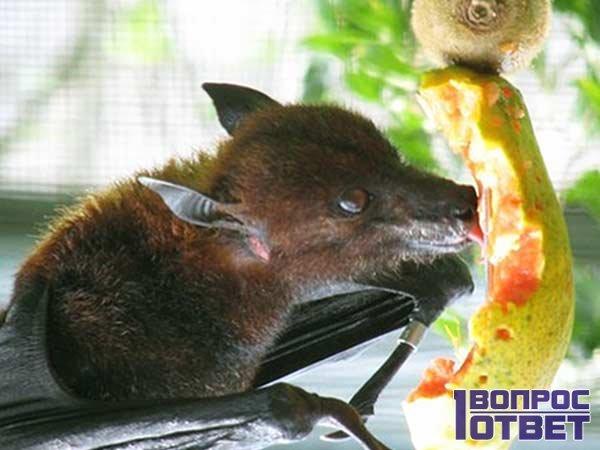 Летучая мышь питается фруктами