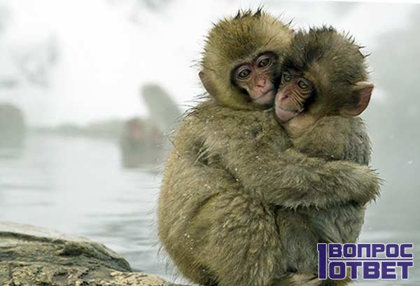 Две обезьянки - наши предки