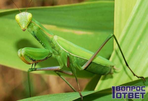 Зеленая самка богомола на растении