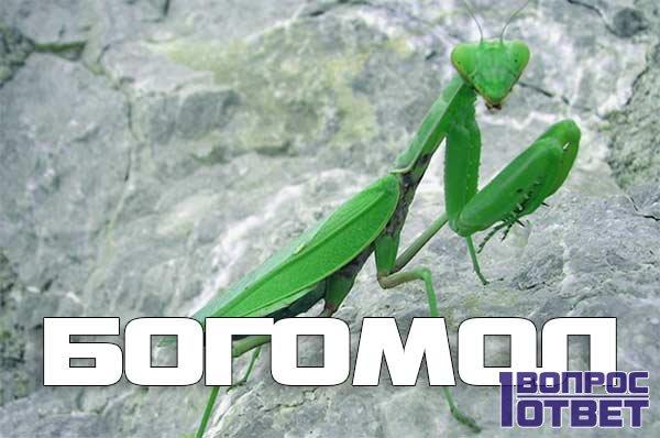 Богомол – насекомое в природе и дома.