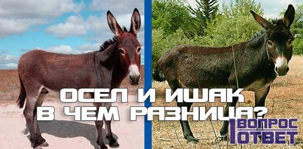 В чем разница между ослом и ишаком?
