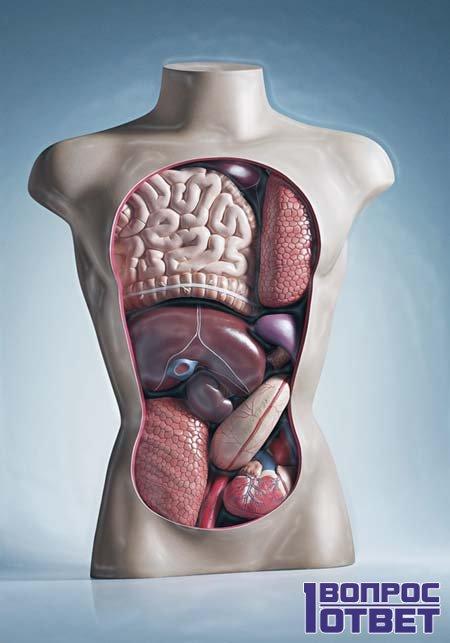 Расположение органов в теле