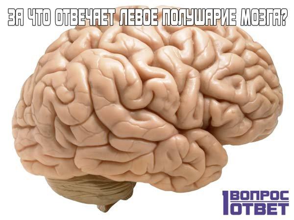 Левое полушарие мозга отвечает за определенные области