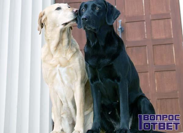 Любовная парочка псов
