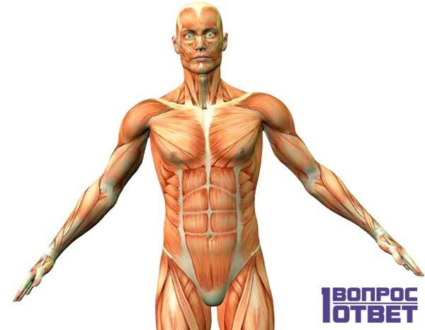 Препарат действует на мышцы человека