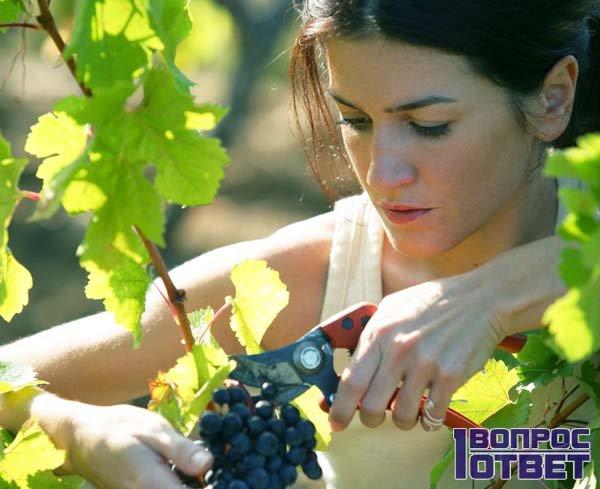 Собирает виноград в совхозе