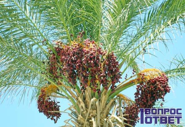 Вырастили финиковую пальму из косточки