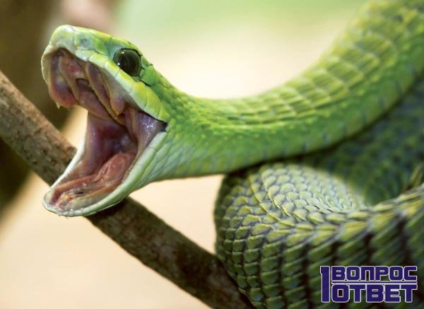 Перед укусом змеи