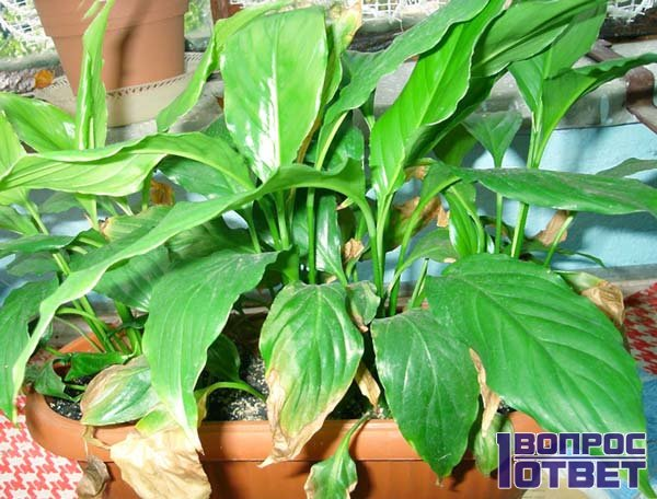 Пожелтевшие листья спатифиллума