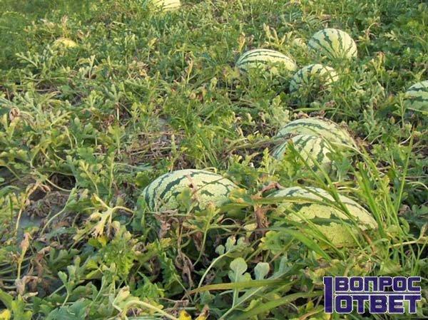 Арбузная бахча в Узбекистане