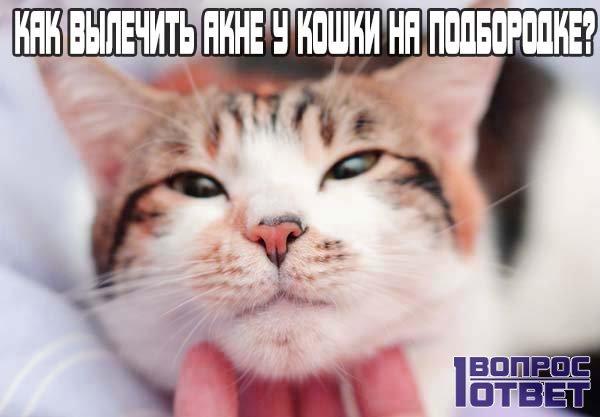 Как можно вылечить акне у кошки на подбородке?