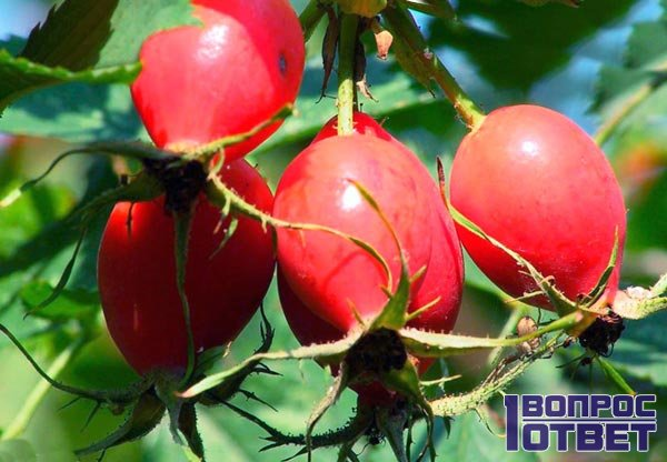 Ягоды красного шиповника