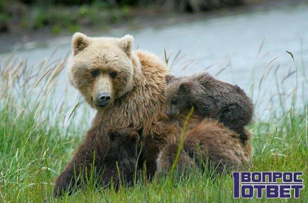 Медведь и его медвежата на реке