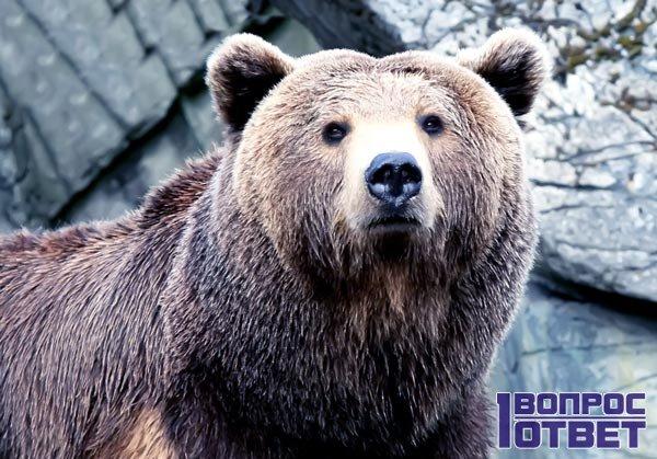 Женщине приснился бурый медведь