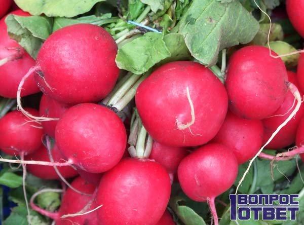 Сочный и спелый корнеплод