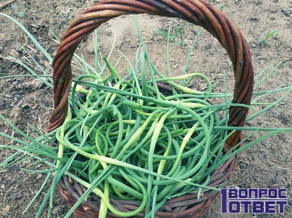 Стрелки семян для размножения