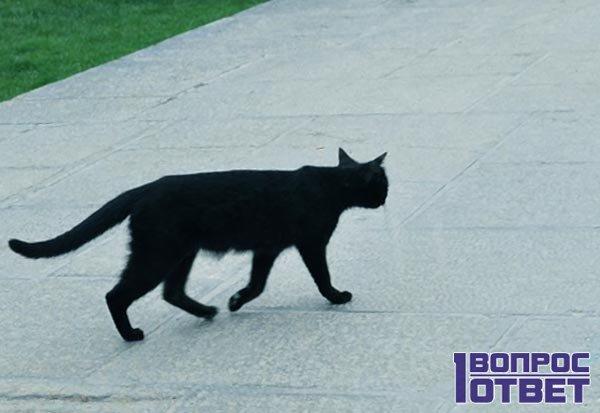 Примета с черной кошкой