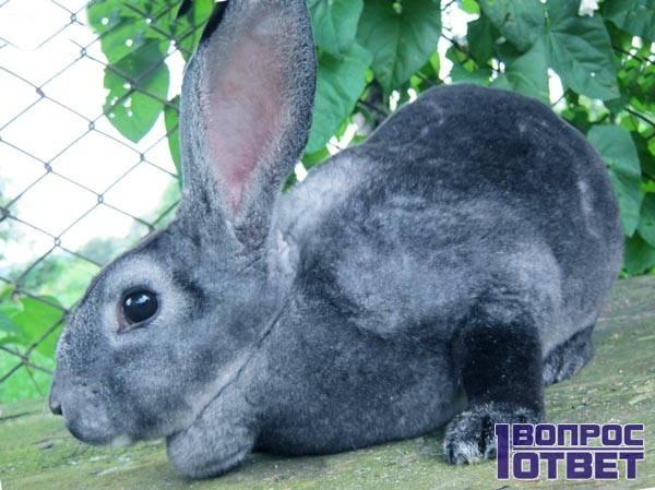Кролик рекс - его мех идет на изготовление