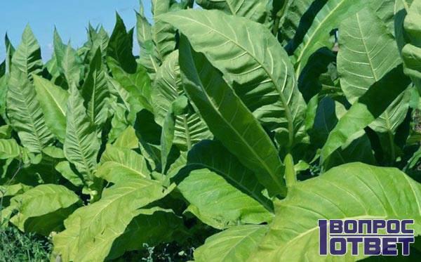 Табак - плантация