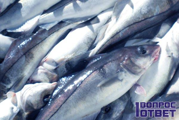 Сурими делают из мяса рыб