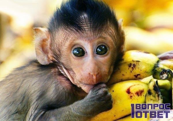 Макака любит бананы