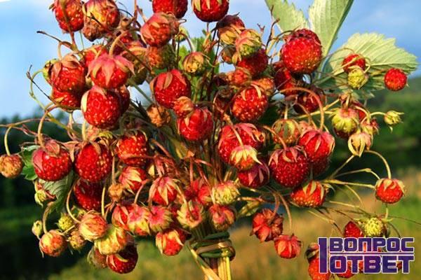 Вкуснейшие ягоды клубники в лесу