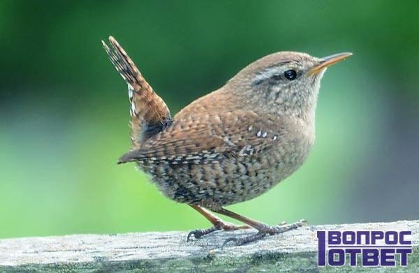 Птица Troglodytes