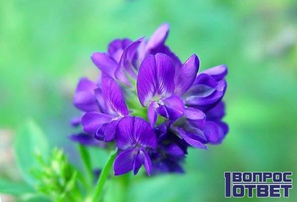 Цветок люцерны