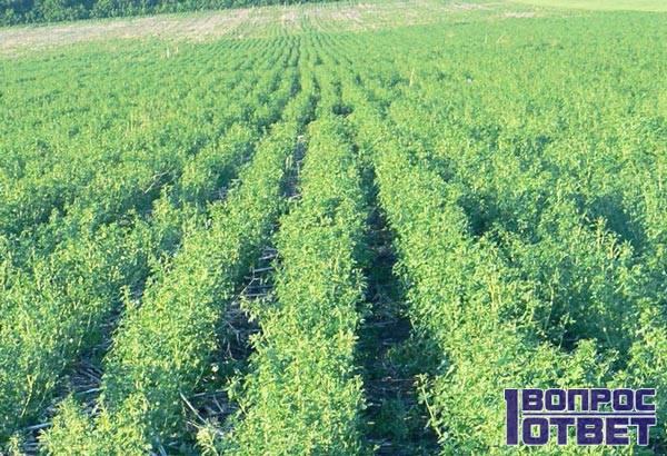 Люцерна - трава с особенностями