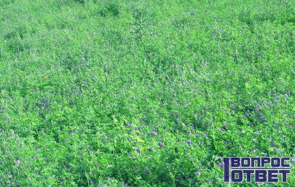 Зеленое поле травы