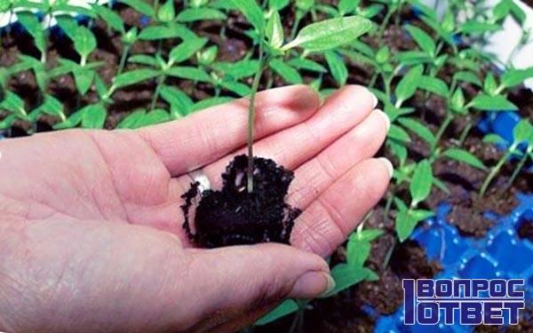 Корни молодого растения