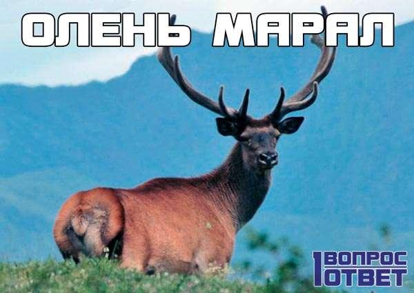 Кто такие маралы (олени)?