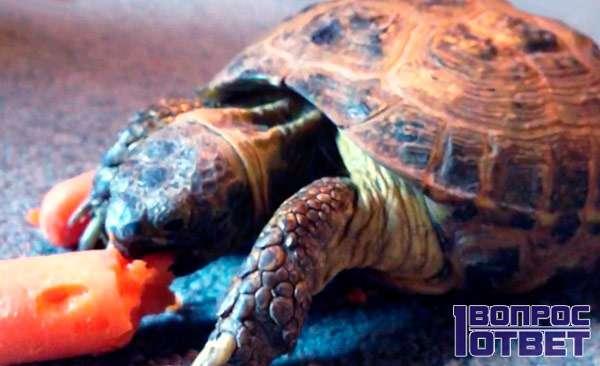 Кормление комнатной черепахи