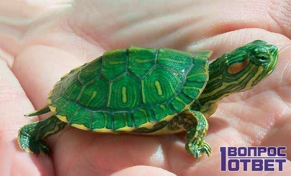 Маленькая зеленая черепаха