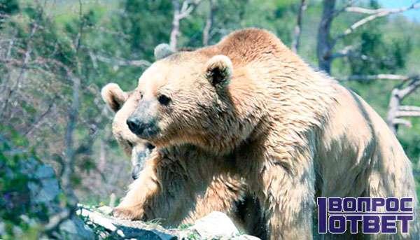 Медведь с сильным характером
